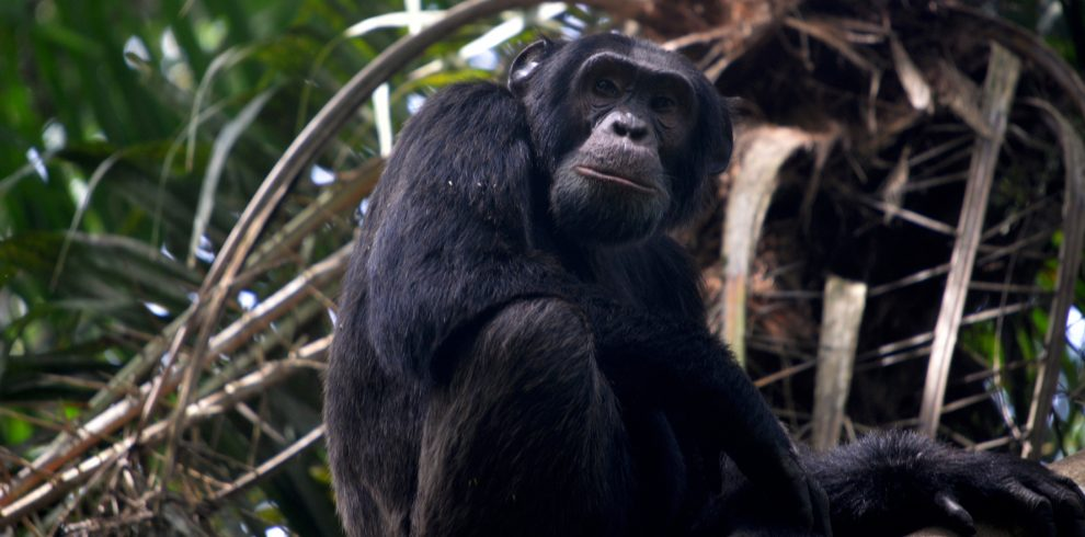An adult Chimpanzee in Kibale Forest National Park