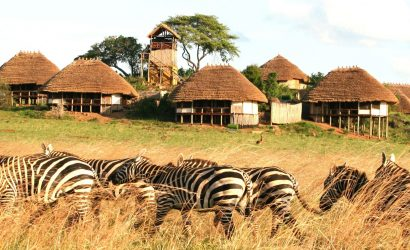 A backdrop of Zebras in Kidepo Valley National Park