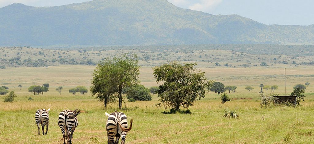 A game view of Zebras in Kidepo Valley National Park