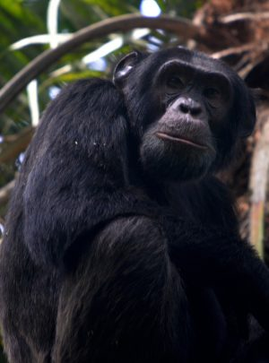 Chimpanzees of Kibale National Park