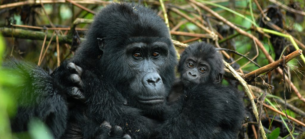 Female gorilla with a young one in Bwindi Forest