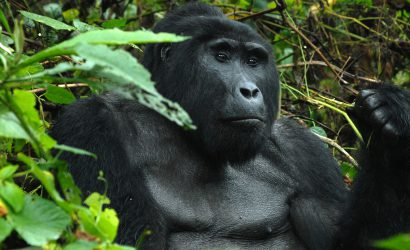 Silverback Mountain Gorilla in Bwindi Forest
