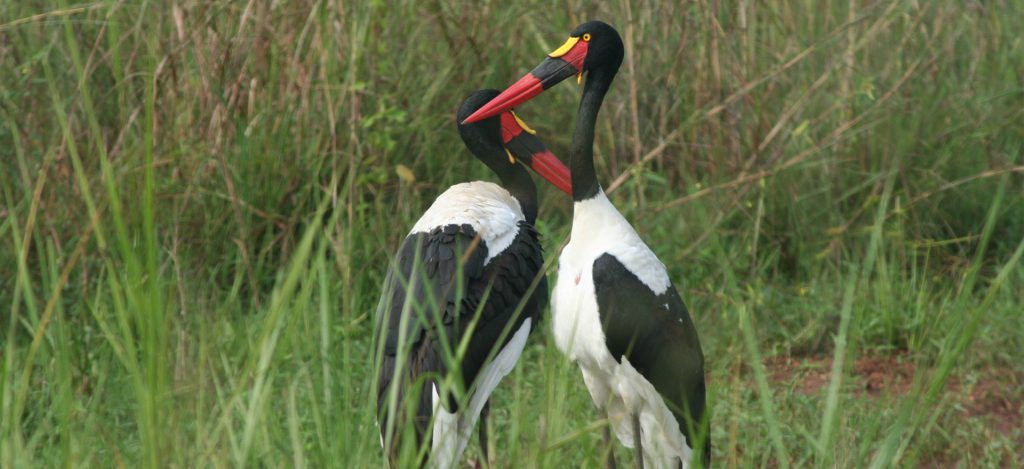 Saddle-Billed-Stork-1920×880