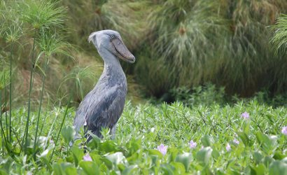 Famous shoebill stork in Murchison Falls National Park