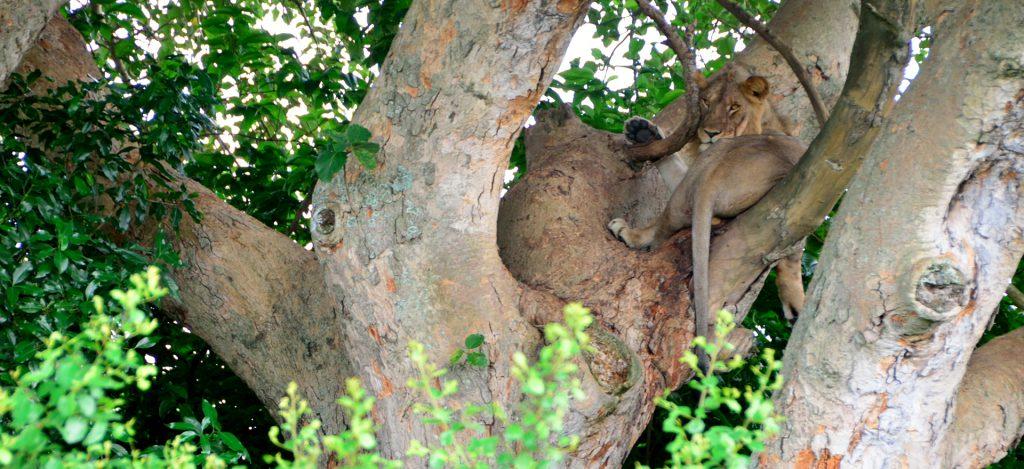 Tree climbing lions in Ishasha Queen Elizabeth