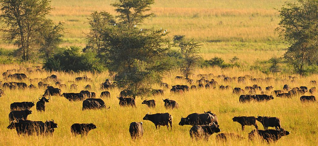 A game view of Buffaloes in Kidepo Valley National Park